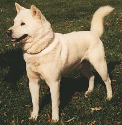 """Kishu tails will """"flag"""" straight up when alerted by prey."""